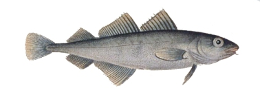 bakkaljaw Trisopterus_minutus
