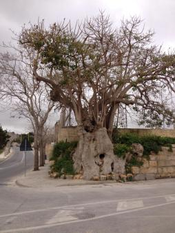 birgu tree at fortini