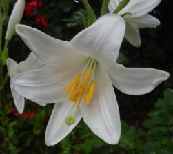 gilju madonna lily.jpg