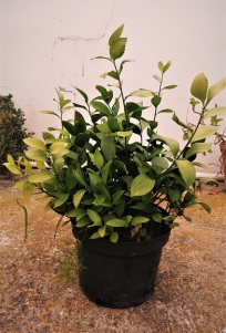 belladonna x
